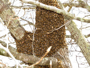 Part of swarm in a tree
